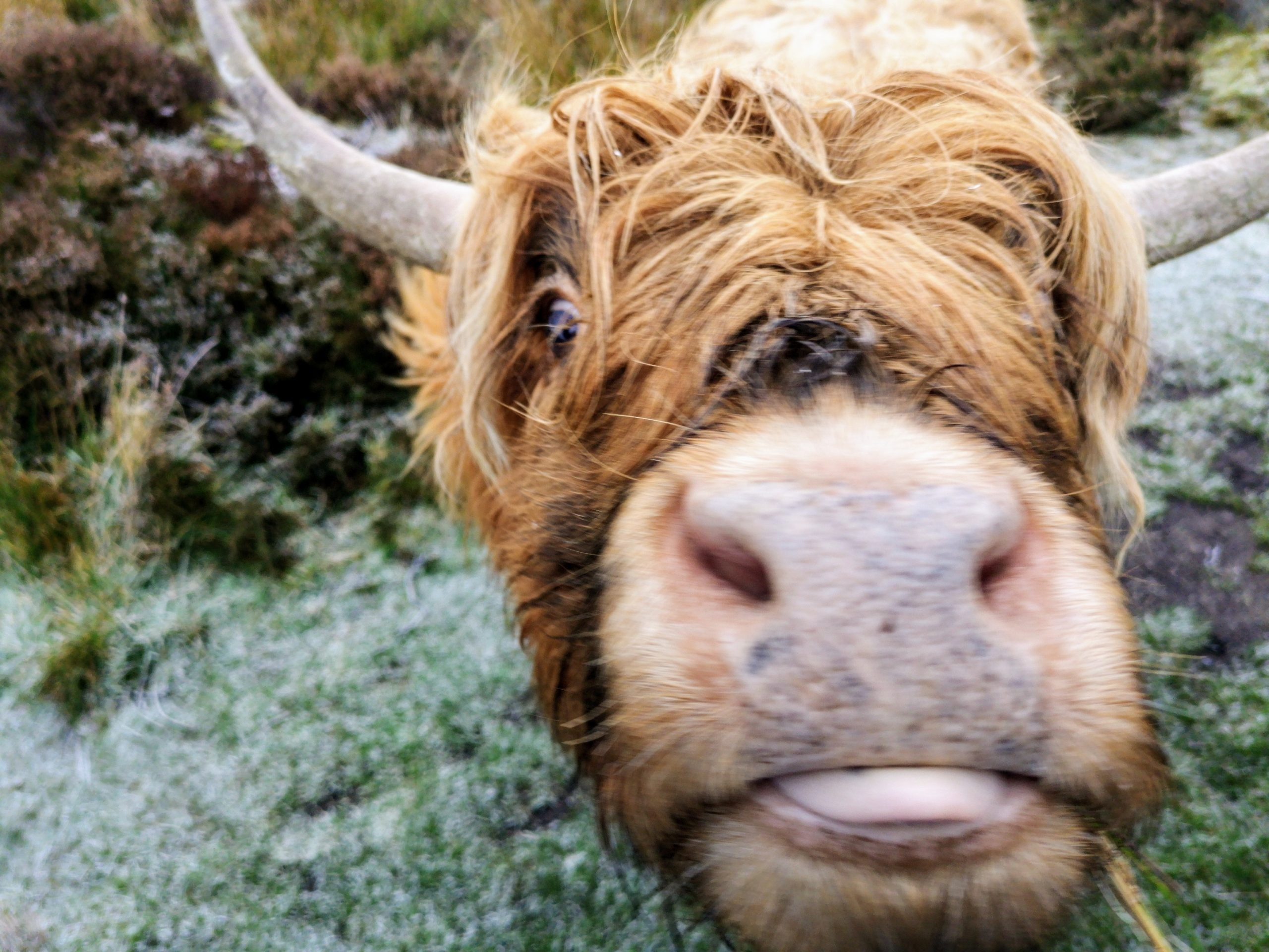 Highland Cattle Close Up